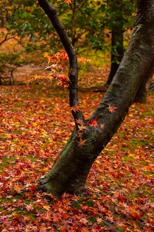 Amazing tree trunk closeup with japanese maple wet red leaves over it contrasting its color, autumn leaves carpet around.