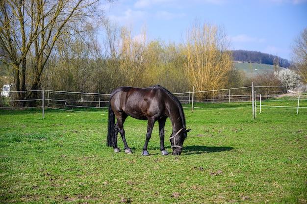 Incredibile vista di un bellissimo cavallo nero che mangia un'erba