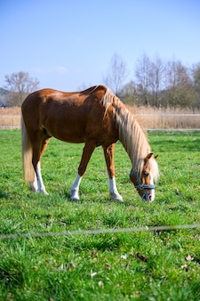 Amazing view of a beautiful brown horse eating a grass