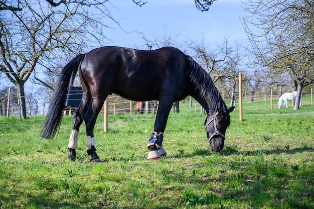 Удивительный вид красивой черной лошади, поедающей траву