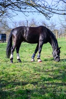 Удивительный вид на красивого черного коня, поедающего траву