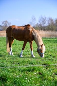 Удивительный вид красивой коричневой лошади, поедающей траву