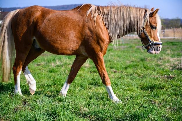 Удивительный вид красивой коричневой лошади, идущей по траве