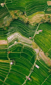Amazing view of rice fields of bali island, indonesia. green rice terraces in ubud. jatiluwih in the centre of bali island.