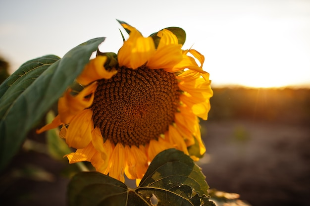 Amazing view of sunflower at field in sunet.