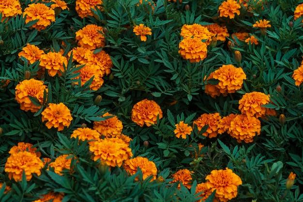 Amazing vintage marigolds grow among rich greenery