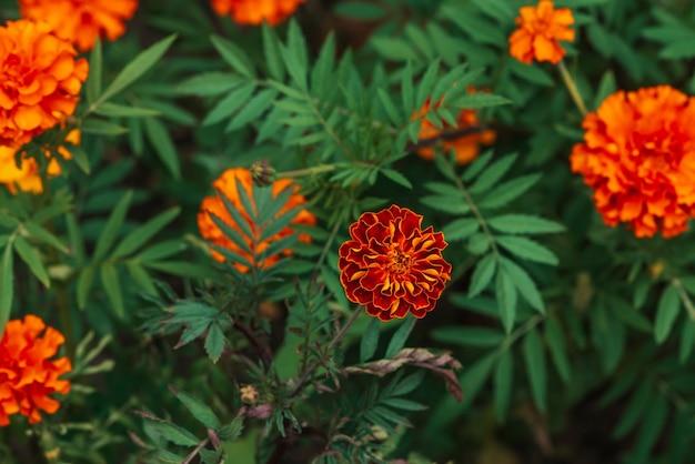 Amazing vintage marigolds grow among rich greenery.