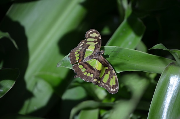 Amazing wingspan on this malachite butterfly in nature