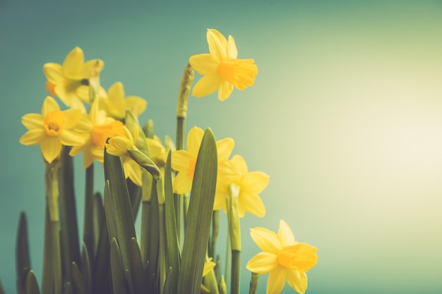 Amazing yellow daffodils flowers in basket.  image for spring background