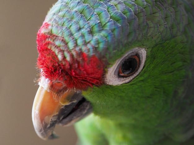 Amazon green parrot portrait close-up.