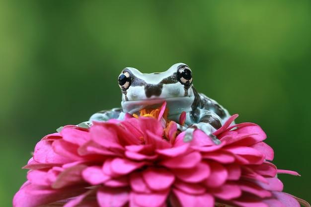 花、アマゾンミルクカエルクローズアップ顔のアマゾンミルクカエル