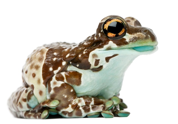 Amazon milk frog trachycephalus resinifictrix in front of white background