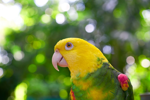 Amazon parrot yellow headed oratrix
