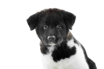 American akita puppy having soft,fluffy fur