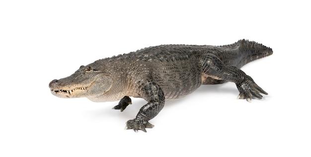 Американский аллигатор, миссисипский аллигатор, изолированные на белом