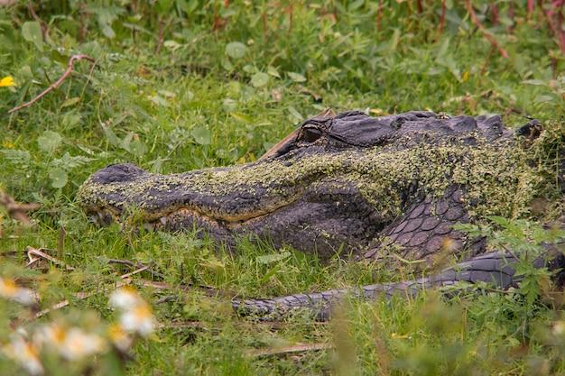 Американский аллигатор на травянистом поле в джунглях