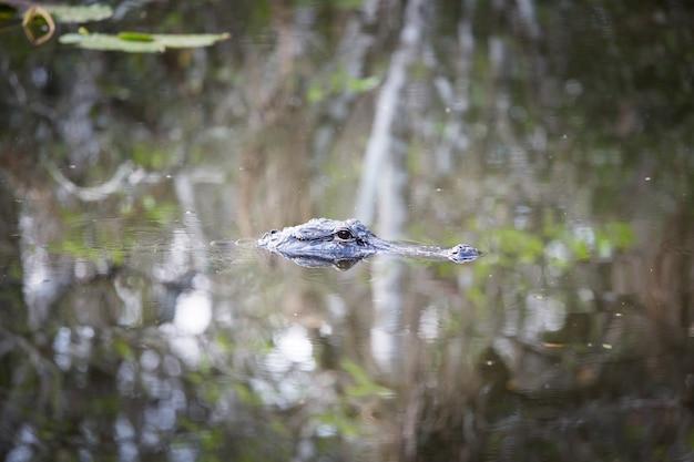 물 야생 자연 국립 공원에서 다채로운 반사와 에버글레이즈에서 미국 악어 수영