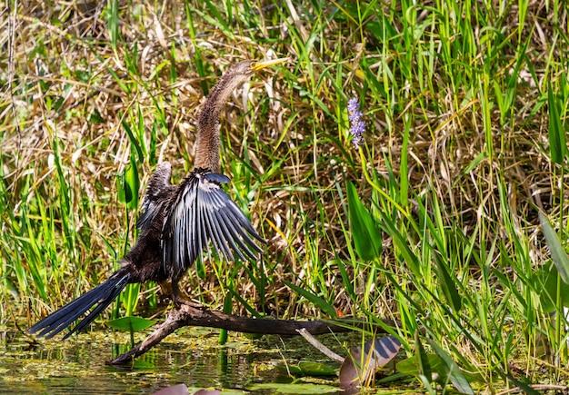 미국 anhinga, 에버글레이즈 국립 공원, 플로리다