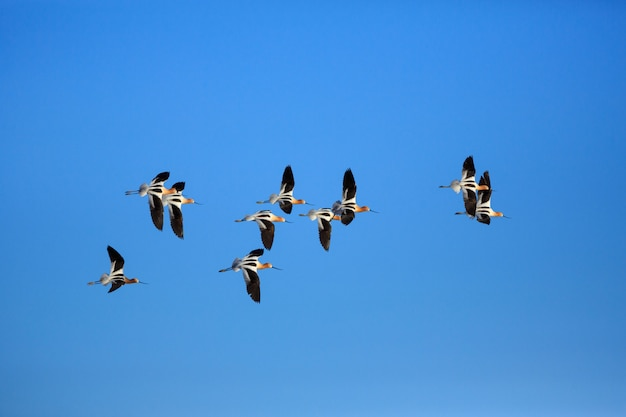 American avocet flock in flight