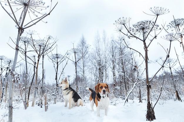 미국 비글과 혼합 품종 양치기 개는 겨울에 잔디밭에 서서 옆으로보고