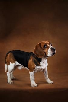 茶色の背景にアメリカのビーグル犬