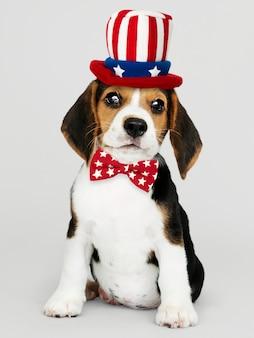 American beagle puppy