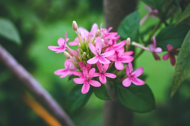 American beauty flower, pink ruspolia.