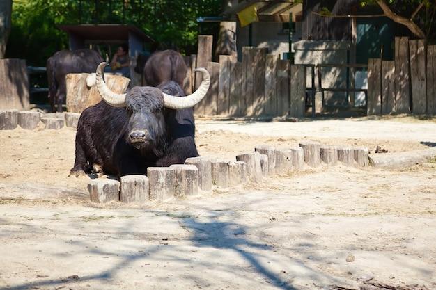 動物園の床に横たわっているアメリカバイソン