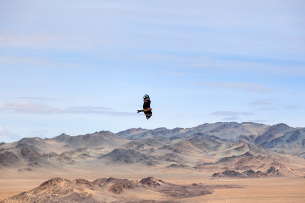 American brown eagle in flight over mongolian mountain