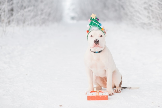 American bulldog in christmas tree rim with gift in forest. crazy christmas