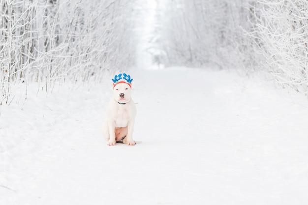 Американский бульдог в оправе рога оленя в зимнем лесу. безумное рождество
