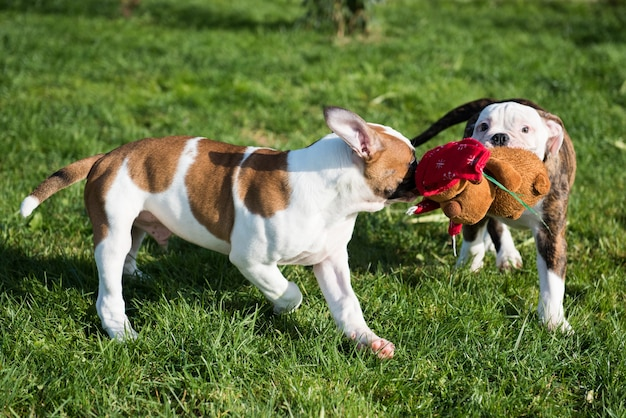American bulldog puppies are playing with toy