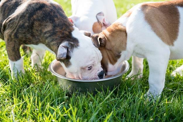 American bulldog puppies playing in nature