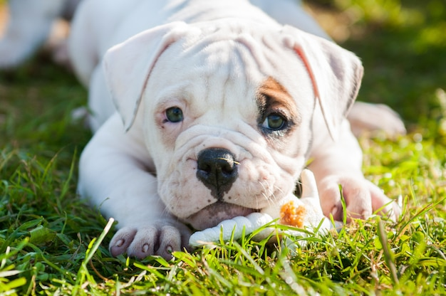 American bulldog puppy is eating a chicken paw on nature