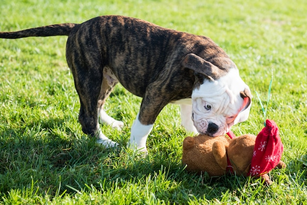 American bulldog puppy is playing with toy