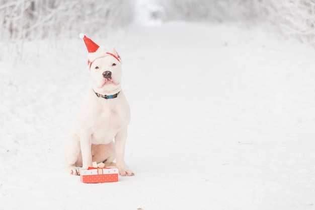 American bulldog in santa hat with gift in winter forest. crazy christmas