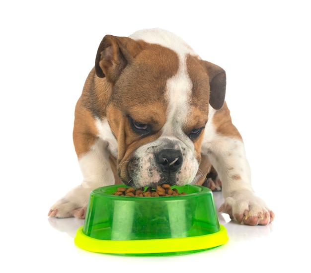 American bully eating dry food isolated