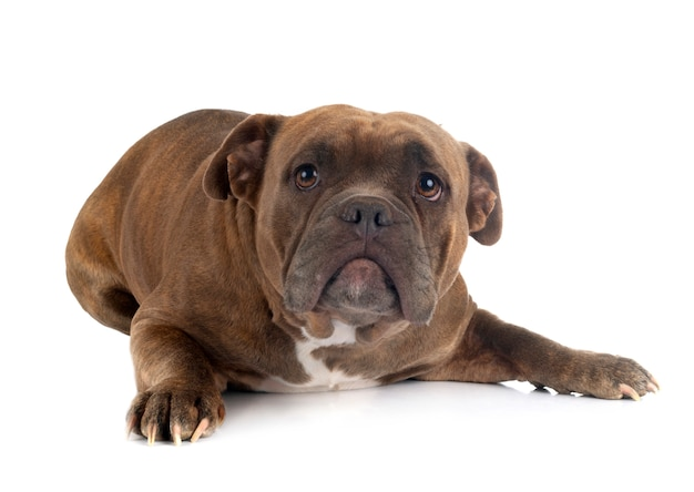 American bully isolated