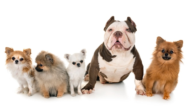 American bully and little dogs