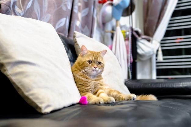 미국 고양이 쇼트 헤어 노란색과 작은 고양이의 무늬가 귀여운 호랑이.