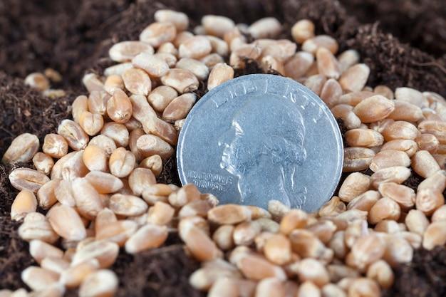 Американские центы застревают в земле вместе с зернами пшеницы, крупным планом на сельскохозяйственном поле, концепция агробизнеса