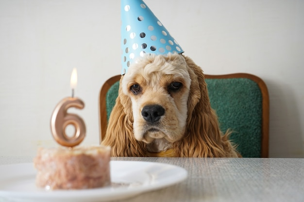 День рождения собаки американского кокер-спаниеля