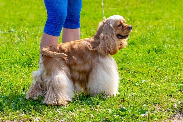 公園を散歩中に愛人の隣にいるアメリカンコッカースパニエル犬