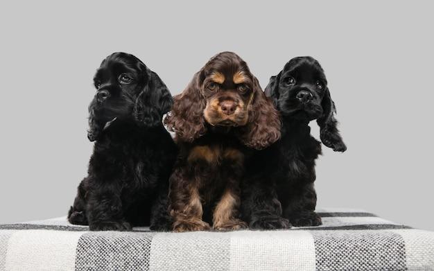 Щенки американского кокер-спаниеля позируют. симпатичные темно-черные собачки или домашние животные, играющие на сером фоне. выгляди внимательным и игривым. студийная фотосессия. понятие движения, движения, действия. copyspace.