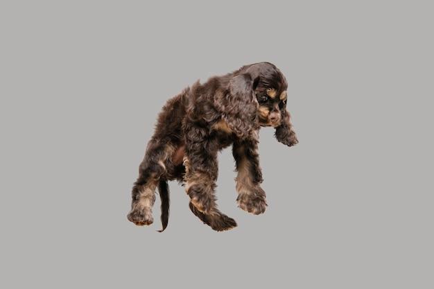 미국 좋 소 강아지 포즈. 회색 배경에 귀여운 짙은 검은 색 강아지 또는 애완 동물.