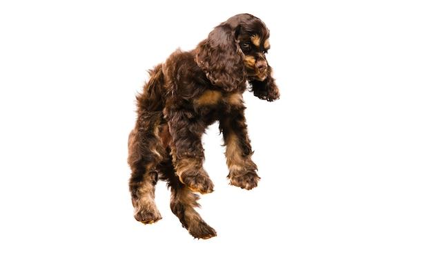 アメリカンコッカースパニエルの子犬のジャンプ。白い背景で遊ぶかわいいダークブラウンの犬やペット。気配りがあり、遊び心があります。スタジオ写真撮影。動き、動き、行動の概念。コピースペース。