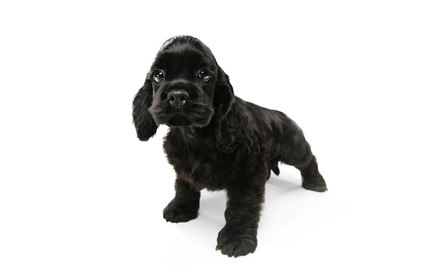 Американский кокер-спаниель позирует. симпатичная темно-черная собачка или домашнее животное, играющее на белом фоне. выглядит внимательным и игривым. студийная фотосессия. понятие движения, движения, действия. copyspace.