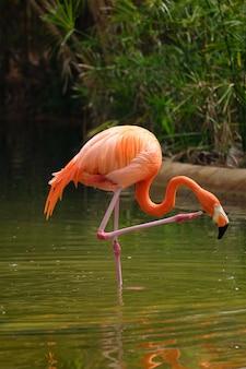미국 플라밍고 phoenicopterus ruber bird