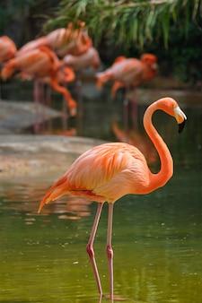 Американский фламинго phoenicopterus ruber bird