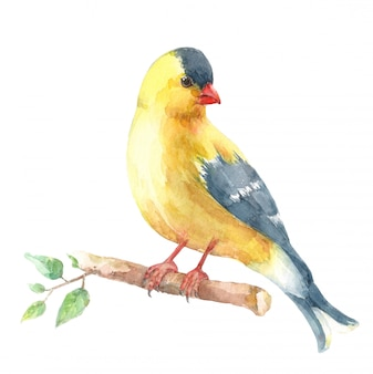 American goldfinch sitting on a branch.
